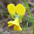 Buttercup Doubletail (Diuris aequalis) icon