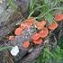 Mushrooms of Guanaja icon