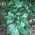Plantas de Honduras icon