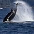 Clayoquot Sound Bigg's Killer Whale Monitoring icon