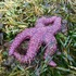 Clayoquot Sound Sea Star Wasting Disease icon