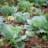 Cabbagecrops