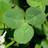 Trifolium repens 512d23c86a