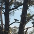 Tasmanian eagle monitoring project (trial) icon