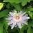 Passiflora incarnata %286%29