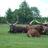 Watusi ankole cattle
