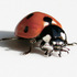 Ladybird Beetles of the World icon