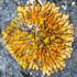 Lichens of Ontario icon