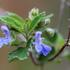 Salvias del norte de Mexico icon