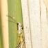 Grasshoppers, Crickets and Katydids of Ontario icon