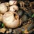 Ausie Rhino Beetles; Scarabidae, Bolboceratinae. icon