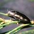 Shiny Jewel Beetles; Coleoptera, Buprestidae. icon