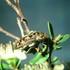 Bird Poo Beetles; Coleoptera, Buprestidae. icon