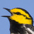 Golden cheeked warbler 0030