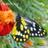 Pieridae,%20delias%20belladonna,%20hill%20jezebel