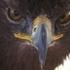 Águila Real icon
