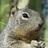 Squirrel inat square