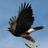 Hawk inat square