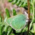 Green Hairstreak Butterfly Bioblitz icon