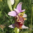 Orchids & other plants of the Gargano (Greentours) icon