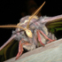 PHALAENA - Mariposas nocturnas de España / Spanish moths icon