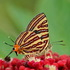 Singapore Butterflies icon