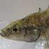 Ontario Fish icon