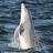 Dolphin%20breaching%20copy