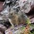 Glacier NP Pika Survey Site icon