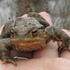 Common Toad Photo ID icon