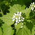 Flora Alimurgica icon