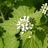 A. petiolata fiori