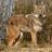 Jim edlhuber coyote mke wwm11 13 2014 1298 cr