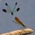 Odonates du NB Odonata icon