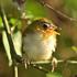 Bird Species of Sulawesi icon