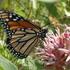 Monarch Butterflies in B.C. icon