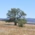 Quercus garryana Range Project icon