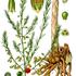 Pflanzen in Deutschland / Plants in Germany icon