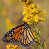 Butterflies of Loudoun County, Virginia icon