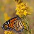 Butterflies of Loudoun County, Virginia icon