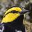 Golden cheeked warbler 0172