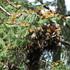 Monitoreo y etiquetado de Mariposa monarca icon